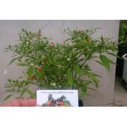 Chili Chiltepin Bonsai Seeds