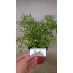 Semillas de chile Chiltepin Bonsai