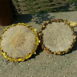 Dzinovski beli suncokret seme