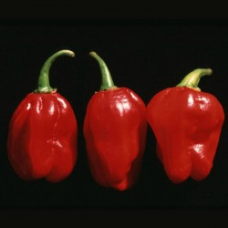 Numex Suave Red Chilli Samen  - 2