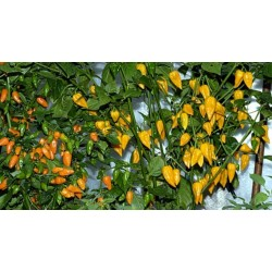 Chili frön Fatalii