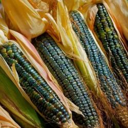 Kukuruz Secerac Seme Oaxacan Zeleni  - 2