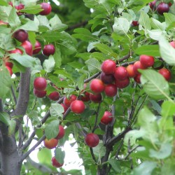 Cherry Plum Seeds (Prunus cerasifera) Seeds Gallery - 2