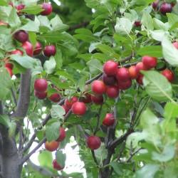 Körsbärsplommon Frön (Prunus cerasifera) Seeds Gallery - 2