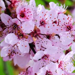 Semillas de Mirobolano (Prunus cerasifera) Seeds Gallery - 3