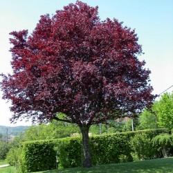 Körsbärsplommon Frön (Prunus cerasifera) Seeds Gallery - 4