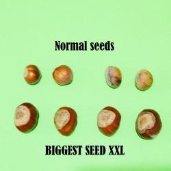 Haselnuss Samen (Corylus avellana)  - 3