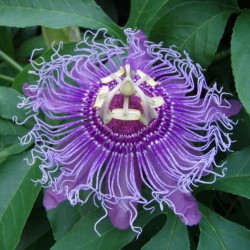 Maypop, Purple Passionflower Seeds (Passiflora incarnata)  - 4