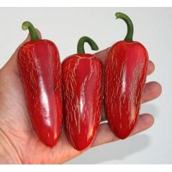Semi Di Peperoncino 'Jalapeno M' (Capsicum annuum)