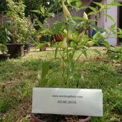 Semi peperoncino Bianco ARPIONE  - 2