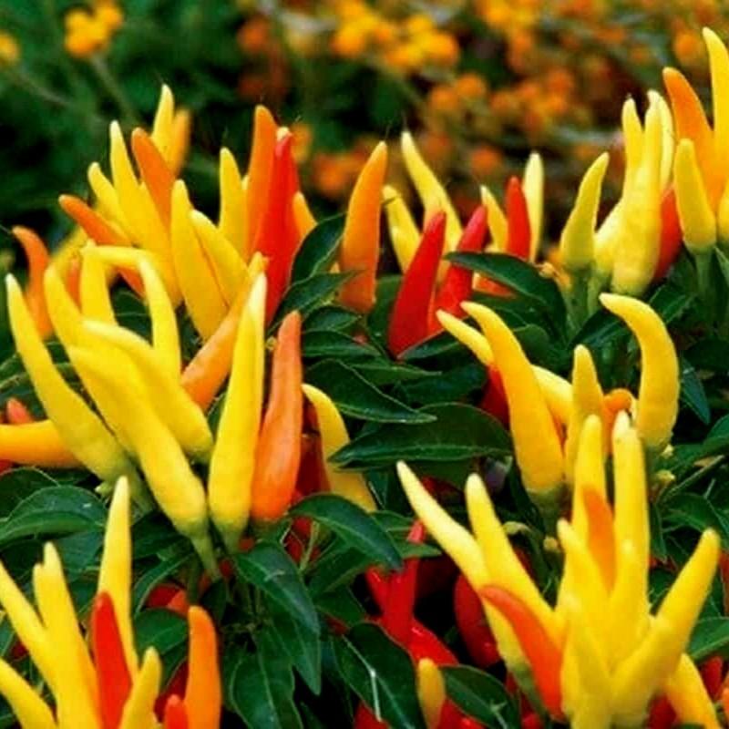Σπόροι Τσίλι - πιπέρι Riot  - 5