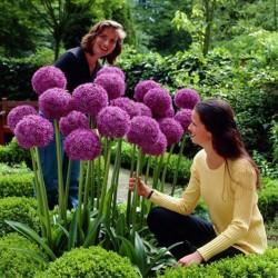 Allium Giganteum Seme - Globemaster  - 4
