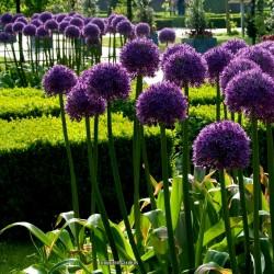Riesen Lauch Samen Winterhart (Allium Giganteum)  - 3