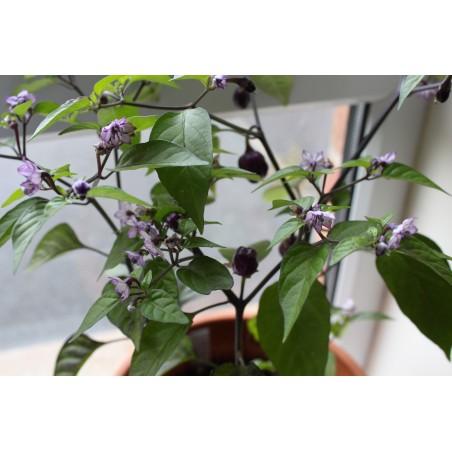Chili 'Filius Blue' Seeds