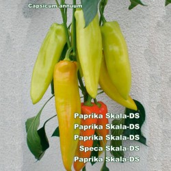 Big Sweet Pepper Seeds Skala  - 2