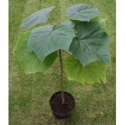 1000 Seeds Paulownia Elongata  - 2