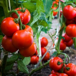 Tomato seeds Gruzanski Golden  - 2