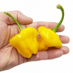 Chili Seme Jamaican Hot Yellow