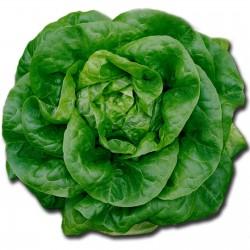 Butterhead lettuce seeds Nansen Noordpool  - 2