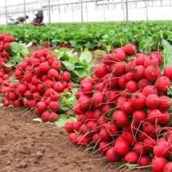 Verica radish seeds  - 2