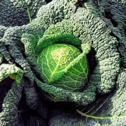 Vertus Wirsingkohl - Wirsing Samen  - 2