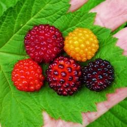 Salmonberry Seeds (Rubus spectabilis)  - 4