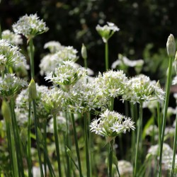 Asian chives, Chinese chives Seed (Allium tuberosum)  - 1