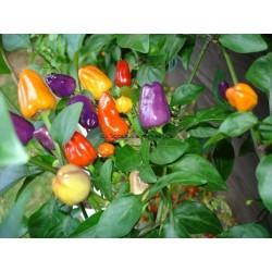 Σπόροι Τσίλι Bolivian Rainbow