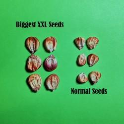 Peruvian Giant Red Sacsa Kuski Corn Seeds  - 10