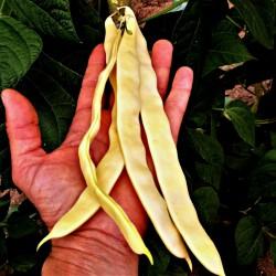 Beans seeds Buddha Market