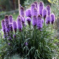 Tohumlar Liatris spicata