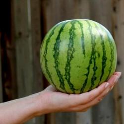 Mini Watermelon Sugar Baby...