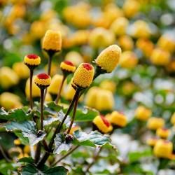 Parakrasse frön (Acmella...