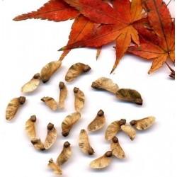 Semillas de Arce Japonés Palmeado Bonsai