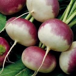 Seme mađarske šećerne repe...