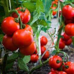 Madjarski paradajz seme...