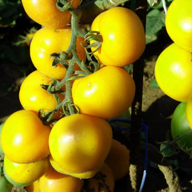 томаты ромус отзывы и фото один вид это